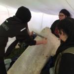 Fleshing the hide